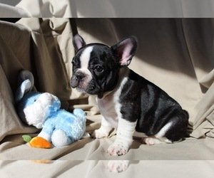 French Bulldog Puppy for sale in KARTHAUS, PA, USA