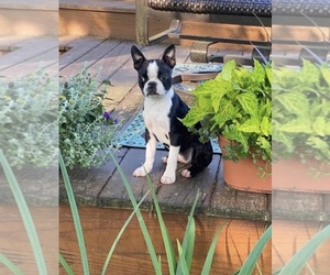 Boston Terrier Puppy for sale in LAUREL, MS, USA