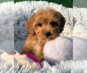 Miniature Australian Shepherd Puppy for sale in LOS ANGELES, CA, USA
