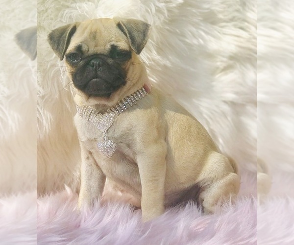 Medium Photo #18 Pug Puppy For Sale in CANTON, CT, USA