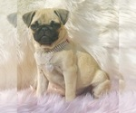 Small Photo #18 Pug Puppy For Sale in CANTON, CT, USA