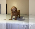 Small #19 Goldendoodle-Poodle (Standard) Mix