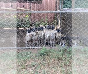 Anatolian Shepherd Puppy for sale in IVA, SC, USA