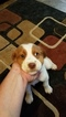 Brittany Puppy For Sale in CASEY, IA,