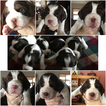 English Springer Spaniel Puppy For Sale in TUPPER LAKE, NY
