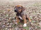 Rhodesian Ridgeback Puppy For Sale in RUSSELLVILLE, AR, USA