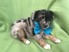 Australian Shepherd Puppy For Sale in EPHRATA, PA,