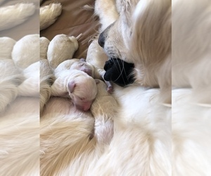 Goldendoodle Puppy for sale in ANZA, CA, USA