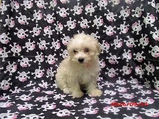 Morkie Puppy For Sale in PATERSON, NJ