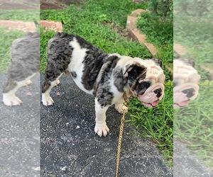 English Bulldog Puppy for sale in MIAMI, FL, USA