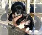 Image preview for Ad Listing. Nickname: Duke