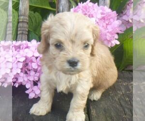 Cavapoo Puppy for sale in BLAIN, PA, USA