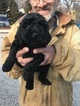 Goldendoodle-Poodle (Standard) Mix Puppy For Sale in BOWIE, MD, USA