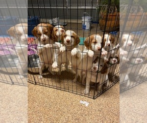 Brittany Puppy for sale in SAN ANTONIO, TX, USA