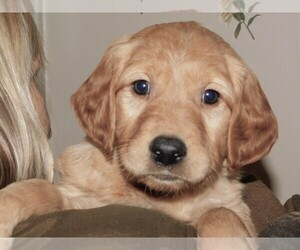 Golden Retriever Puppy for Sale in QUEEN CREEK, Arizona USA