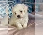 Puppy 2 Shih-Poo-Zuchon Mix
