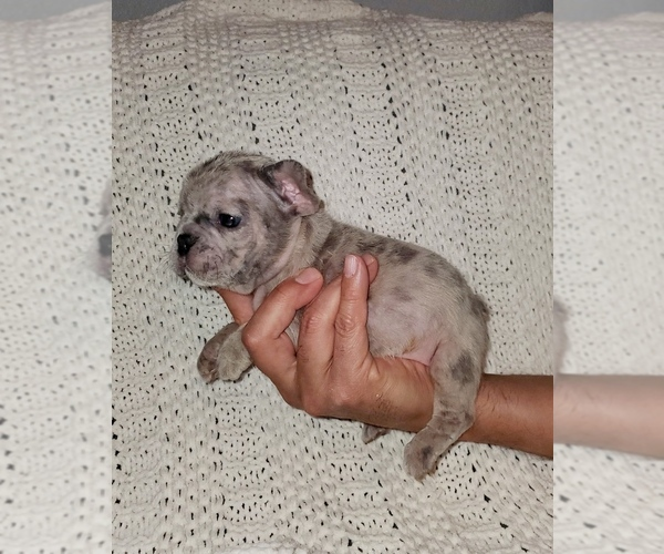 Full screen Photo #2 French Bulldog Puppy For Sale in N LAS VEGAS, NV, USA