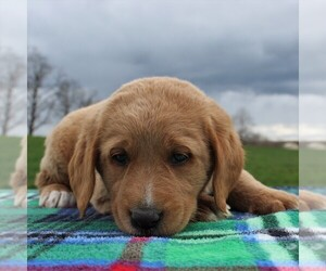Labradoodle Puppy for sale in GREENCASTLE, PA, USA