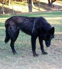 View Ad German Shepherd Dog Wolf Hybrid Mix Puppy For Sale Near