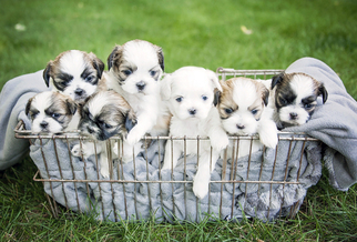 Shih Tzu Puppy For Sale in SIOUX CENTER, IA, USA