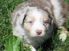 Australian Shepherd Puppy For Sale in AUBURN, Indiana,