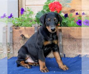 Doberman Pinscher Puppy for sale in QUARRYVILLE, PA, USA
