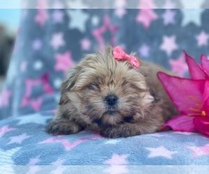 Shorkie Tzu Puppy for sale in LAKELAND, FL, USA