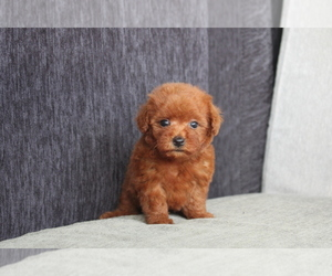 Poodle (Toy) Puppy for sale in MIAMI, FL, USA