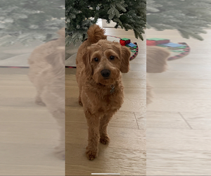 Goldendoodle Puppy for sale in EAU CLAIRE, WI, USA