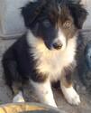 Australian Shepherd Puppy For Sale in BEN WHEELER, TX,
