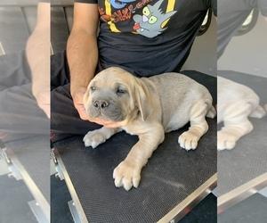 Cane Corso Puppy for sale in ALBUQUERQUE, NM, USA