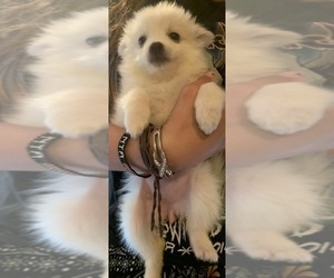 American Eskimo Dog Puppy for Sale in MOUNT VERNON, Missouri USA