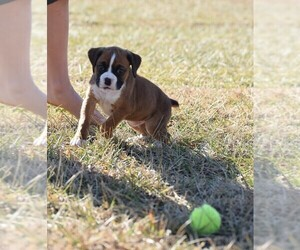 Boxer Puppy for sale in HUMBOLDT, NE, USA
