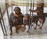 Small #63 Rottweiler