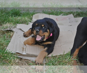 Rottweiler Puppy for Sale in LYONS, Oregon USA