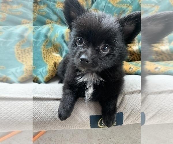 Medium Photo #9 Pomeranian Puppy For Sale in KEAAU, HI, USA