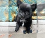 Small Photo #9 Pomeranian Puppy For Sale in KEAAU, HI, USA