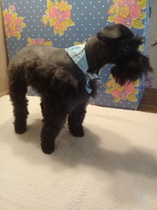 Schnauzer (Miniature) Puppy for sale in TENAHA, TX, USA