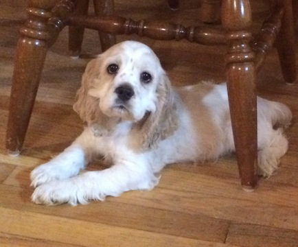 View Ad Cocker Spaniel Puppy For Sale Pennsylvania Bedford