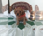 Puppy 7 Cavapoo