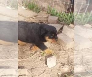 Rottweiler Puppy for sale in NIOTA, TN, USA