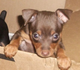 chocolate miniature pinscher puppies for sale