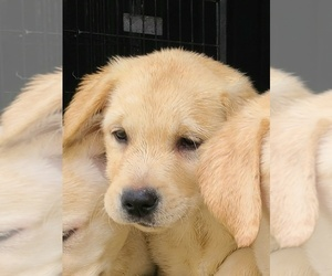Golden Retriever Puppy for sale in CHINO HILLS, CA, USA