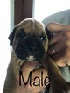 Boxer Puppy For Sale in CHATSWORTH, Georgia,