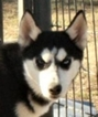 Siberian Husky Puppy For Sale in SHAWNEE, OK, USA