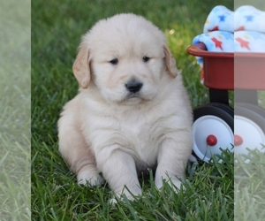 Golden Retriever Puppy for sale in NASHVILLE, TN, USA