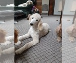 Small Photo #3 Poodle (Standard) Puppy For Sale in WAUSAUKEE, WI, USA