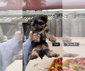 Yorkshire Terrier Dog for Adoption in MODESTO, California USA