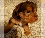 Small #3 Yoranian-Yorkshire Terrier Mix