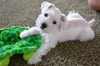 Schnauzer (Miniature) Puppy For Sale in SPRINGFIELD, MO